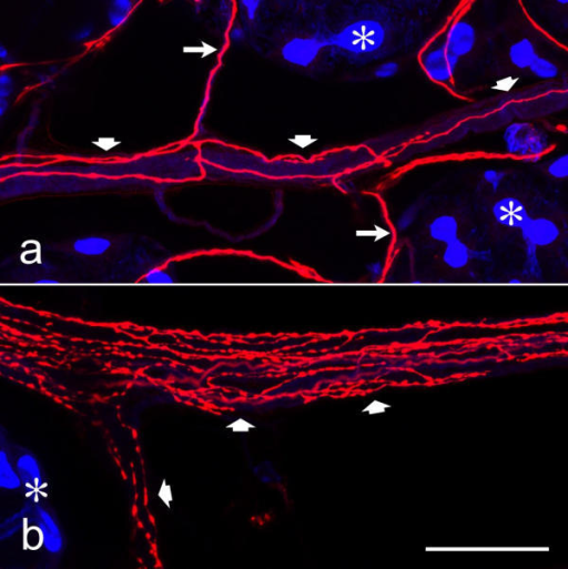 Dopaminergic nerve fibers within nerves that extend between acini Whole mounts of salivary glands were double-labeled with anti-dopamine (red) and BODIPY FL phallacidin (blue), and imaged by confocal microscopy. Acinar lobules (asterisks) are connected by nerves of large (broad arrows) and small (long arrows) diameter, containing dopaminergic fibers. In some of theses nerves, the dopaminergic fibers branch extensively and have numerous varicosities (b), suggesting that these sites represent neurohemal organs. Scale bar = 50 μm