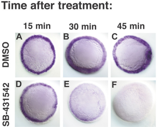 SB-431542 rapidly blocks transcription of Nodal target genes. lefty1 expression in embryos treated with DMSO (A-C) or SB-431542 (D-F) at 4.3 h (dome stage), and fixed after 15 minutes (A, D), 30 minutes (B, E) or 45 minutes (D, F).