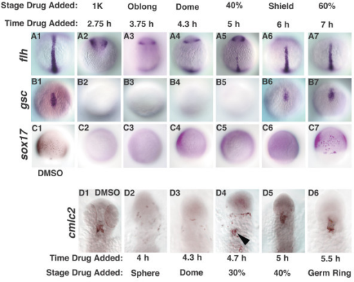 Cell fate specification is delayed squint mutants. Cell fates were examined in sqt mutant embryos treated with DMSO (A1-D1), or with SB-431542 at various time points. (A1-7) flh was first expressed at the midline in embryos treated at 5 h (A5). (B2-7) gsc expression is first detected in embryos treated at 6 h (B6). (C2-7) sox17 expression is first detected when embryos are treated at 7 h (C7). (D1-7) cmlc2 expression was first detected in embryos treated 4.7 h (D4, arrowhead). Dorsal views of 10 h (A1-B7), 8 h (C1-C7) or 24 h (D1-D6). In D1-D6, anterior is up. The embryos in Figs. 8 and 9 are from the same clutch and weretreated in parallel, along with wild type controls (not shown).