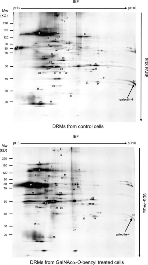 Analysis of proteins contained in DRMs of control and GalNAcα-O-bn–treated HT-29 cells. 2-D patterns were obtained using 300 μg of DRM proteins isolated from control and GalNAcα-O-bn–treated (14 d) cells. Each protein spot was numbered and submitted to mass spectrometry analysis in MALDI-TOF mode. Spot number 32 was identified as galectin-4 (arrows).