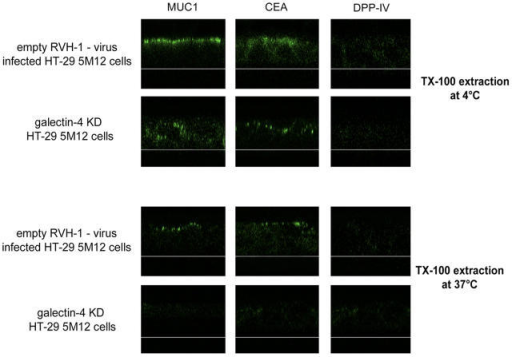 Apical glycoproteins are no longer associated with DRMs in galectin-4-KD HT-29 5M12 cells. Confocal microscopy with antibodies directed against MUC1, CEA, and DPP-IV, on empty-RVH-1-virus–infected cells or galectin-4-KD cells, after cell treatment with Triton X-100 at 4°C or 37°C. xz sections were shown.