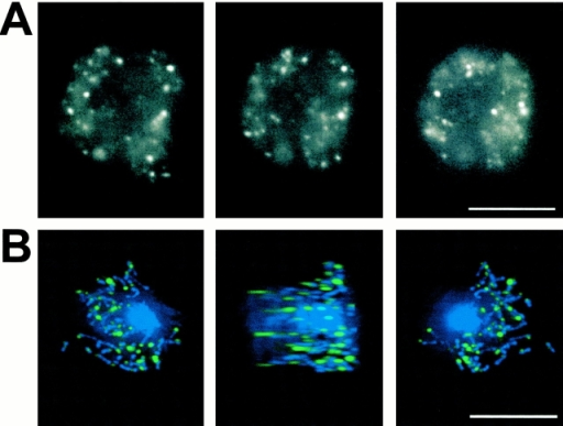 Localization of TorA–GFP. (A) TorA–GFP localization in living cells. (B) Deconvoluted images for GFP (green) and DAPI (blue) in TorA–GFP-expressing cells that were fixed and stained with 5 μM DAPI. Bars, 10 μM.