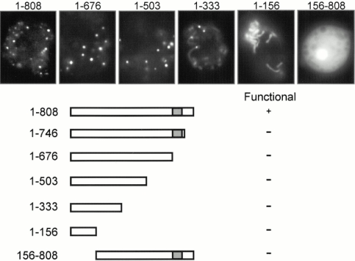 Localization and function of truncated TorA–GFP proteins. Truncated TorA–GFP proteins were expressed in Ax3 to study localization of the fluorescent signal. The same constructs were expressed in torA− to study their ability to rescue this mutant.