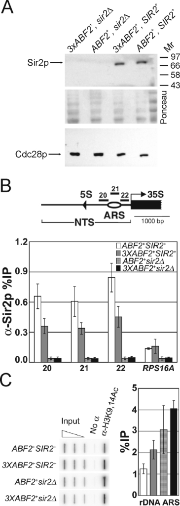 Cells over-expressing ABF2 have less Sir2p and higher levels of K9, K14 acetylated histone H3 at the rDNA ARS elements.A, Immunoblot showing that the level of Sir2p is not altered in whole cell extracts from cells over-expressing ABF2. The same blot was stained with Ponceau, to indicate loading. Loading was also evaluated from the same samples, with an anti-Cdc28p antibody. B, ChIP experiments analyzed by real-time PCR show that the level of Sir2p (%IP) at the rDNA ARS elements is reduced in 3XABF2+ cells. Part of one rDNA repeat is shown above indicating the location of the rDNA ARS elements, the primers used (primer pairs 20, 21, 22); the nontranscribed spacer (NTS); and the 35S and 5S rRNA genes. The values shown in the bar graph are the average %IPs (±s.d.) of three independent experiments. C, ChIP experiments analyzed by slot blot show that the level of K9, K14 acetylated histone H3 is increased at the rDNA ARS elements in 3XABF2+ cells. In the graph, the average %IPs (+/− range) are shown for two independent experiments (Pearson coefficient = 0.95). The open triangle above the slot blot represents serial dilutions of input DNA to ensure linearity with respect to hybridization of the probe to the amount of DNA applied to the membrane. Other labels as in Figure 9B.