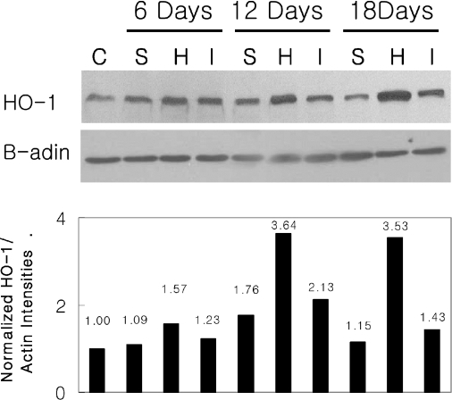 Western blot analysis and normalized ratio of HO-1 and β-actin as internal control HO-1 protein expression in the three groups on days 6th, 12th and 18th after immunization; HO-1 was strongly expressed in the hemin-treated group. HO-1 was expressed less in the SnPP-treated group than in the IRBP-treated group. C; normal control, S; SnPP, H; hemin, I; IRBP.