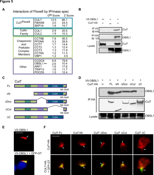 The cytoskeletal adaptor protein OBSL1 forms a physical complex with the scaffold protein Cul7.(A) Lysates of 293T cells harboring an inducible HA-Fbxw8 lentivirus were immunoprecipitated with the HA antibody and subjected to proteomic analysis using LC-MS/MS. CompPASS was utilized to interrogate datasets and assign the DN and Z scoring metrics. Proteins with a DN score greater than 1 and a Z score greater than 3.5 were considered HCIPs. We confirmed that endogenous Fbxw8 and endogenous Cul7 form a complex in cells (Figure S6G). (B) Lysates of 293T cells transfected with expression plasmids encoding V5-OBSL1 and Cul7-HA or the control vectors were immunoprecipitated (IP) with the V5 or HA antibodies. Immunoprecipitates and lysates were immunoblotted (IB) with the V5 and HA antibodies. (C) Domain map of full-length (FL) Cul7 protein and deletion mutant proteins. Cul7 consists of a large N-terminal domain unique among the cullin family that contains a CPH domain, a DOC domain, a cullin domain, and an extreme C-terminal region that contains a neddylation motif. (D) Lysates of 293T cells transfected with expression plasmids encoding V5-OBSL1 and full-length Cul7-HA, deletion mutants, or the control vector were immunoprecipitated with the HA antibody. Immunoprecipitates and lysates were immmunoblotted with the HA and V5 antibodies. (E) Granule neurons were transfected with the expression plasmids encoding V5-OBSL1 and the Golgi marker, GFP-GT, and subjected to immunocytochemistry with the V5 and GFP antibodies. Arrow denotes co-localization of OBSL1 and GFP-GT. Scale bar = 5 µm. (F) Granule neurons were transfected with the expression plasmids encoding Cul7-HA or deletion mutants and the Golgi marker, GFP-GT, and subjected to immunocytochemistry with the HA and GFP antibodies. Arrows denote the Golgi apparatus as labeled by GFP-GT. Scale bar = 5 µm.