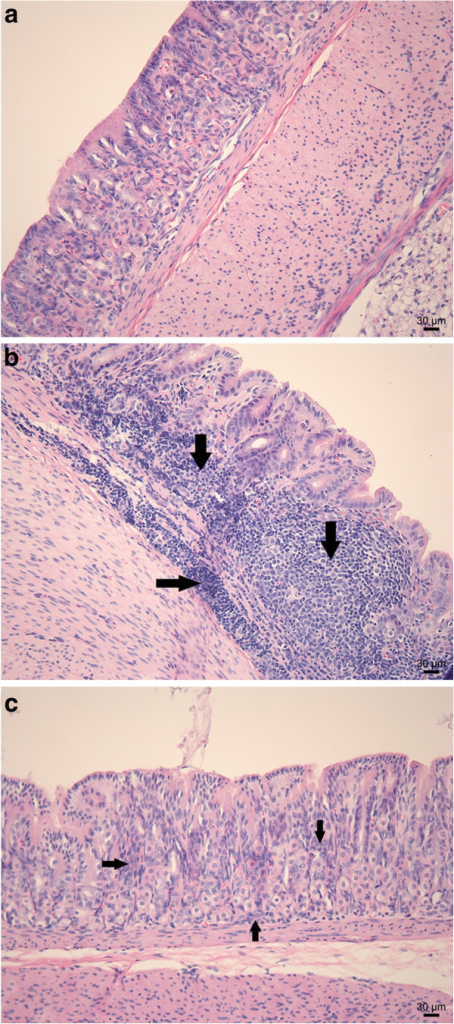 H&E staining of the antrum of a gerbil stomach. Normal histology of the antrum of a sham-inoculated negative control animal (a). Explicit lymphocytic infiltration of the lamina propria and the submucosa with the formation of lymphoid follicles (arrows) in the antrum of a gerbil inoculated with H. heilmannii s.s. ASB1 (b). Mild to absent lymphocytic infiltration (arrows) of the lamina propria in the antrum of a gerbil inoculated with H. heilmannii s.s. ASB7 (c). Bar = 30 μm.