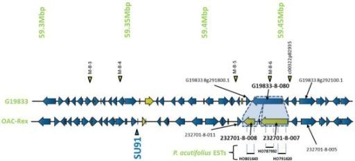 Comparison of the regions surrounding the SU91 marker in OAC-Rex contig 232701 with the corresponding sequence from G19833 chromosome 8. Unique genes are marked in yellow, and the two genes (232701-8-007 and 232701-8-008) that are homologous with the G19833 Niemann Pick transporter gene are highlighted for comparison. 232701-8-007 has homology with two P. acutifolius ESTs (HO787932 and HO791620) while 232701-8-008, has homology to a single P. acutifolius (EST, HO801643). Highly conserved genes bordering this region in G19833 and OAC-Rex are labeled. The location of molecular markers are indicated with triangles above and below the sequence.