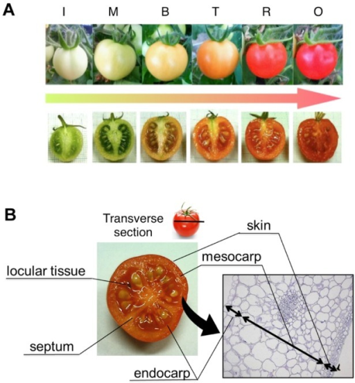 Preparation for tissue-specific analysis.A, The fruit ripening stages of cv. Micro Tom. The six stages included immature green (I), mature green (M), breaker (B), turning (T), red ripe (R), and overripe (O). B, The fruit tissues of cv. Micro Tom. The eight tissues included skin, mesocarp, endocarp, septum, locular tissue, seed, placenta. and core. These were separated by hand-sectioning.