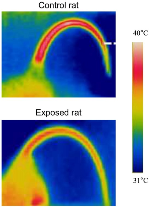Thermal photographs of a control rat and an exposed rat at air temperature of 31°C.The colors correspond to the temperature scale on the right.