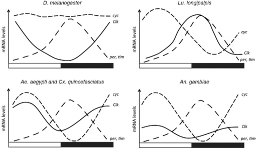 : circadian transcriptional profiles of the canonical clock genes in the mainfeedback loop from Drosophila melanogaster , Lutzomyia longipalpis ,Aedes aegypti and Culex quinquefasciatus andAnopheles gambiae . Clk :clock ; cyk : cycle ;per : period ; tim :timeless .