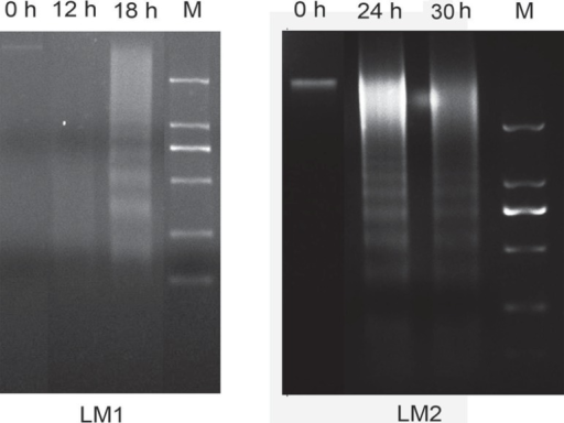 Effect of LM1 and LM2 on DNA fragment in CAL-27. CAL-27 cells were treated withLM1 and LM2 for different time periods and then collected. DNA was separated,followed by DNA gel electrophoresis (M, Marker: 2,000 bp, 1,000 bp, 750 bp, 250bp, 100 bp)