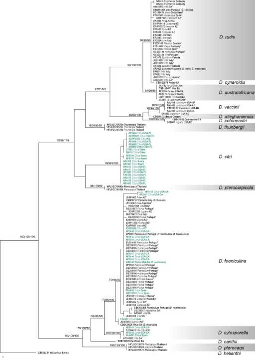 One of the 45 equally parsimonious trees generated from the analysis of the ITS sequence alignment. MP/RAxML bootstrap values/Bayesian posterior probabilities ≥ 70 % are displayed above or below each branch. Ex-type and ex-epitype culture numbers are in bold. GenBank accessions are given for downloaded sequences and isolate codes for the newly generated sequences annotated with host and location. Isolates from Citrus are indicated in green. ITS sequences obtained from GenBank verified as D. cytosporella, D. foeniculina and D. rudis are indicated with an asterisk. The tree is rooted with D. helianthi (CBS 592.81).