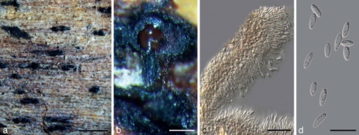 Holotype specimen of Diaporthe cytosporella (BPI 798526). a. Pycnidia-bearing bark of Citrus sp.; b. branched stroma and sporulating pycnidia; c. section through pycnidia with pycnidial wall and conidiophores; d. alpha conidia. — Scale bars: a = 1 000 μm; b = 50 μm; c, d = 15 μm.