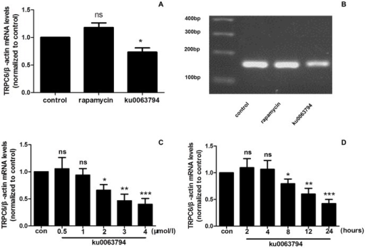 ku0063794 but not rapamycin decreased the TRPC6 mRNA levels in podocytes.(A) ku0063794 (2 µmol/l) or rapamycin (50 nmol/l) was applied to evaluate the effects of mTORC1 and mTORC2 on TRPC6 in podocytes. Application of ku0063794 for 24 h caused a significant decrease in the TRPC6 mRNA levels. However, no significant difference was detected between the control group and rapamycin treatment group. (B) The TRPC6 real-time PCR product was examined via agarose gel electrophoresis. Lane 1: 100 bp DNA marker; lane 2: control cells treated with DMSO for 24 hours; lanes 3 and 4: cells treated for 24 hours with 50 nmol/l rapamycin or 2 µmol/l ku0063794, respectively. (C) The TRPC6 mRNA levels were decreased in a concentration-dependent manner following treatment with 2, 3 or 4 µmol/l ku0063794. No significant difference between the control group and the 0.5 or 1 µmol/l ku0063794 treatment group was detected. (D) The TRPC6 mRNA levels were decreased following application of 3 µmol/l ku0063794 for 8, 12, or 24 h compared to the control treatment. There was no significant difference between the control treatment and ku0063794 treatment for 2 or 4 h. (*p<0.05 vs. control; **p<0.01 vs. control; ***p<0.001 vs. control; ns no statistical significance; n = 3.)