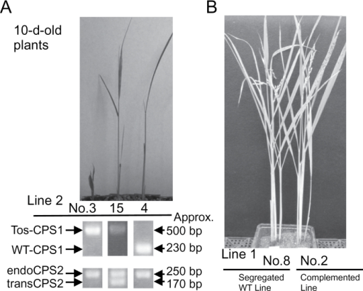 Complementation experiment of a loss-of-function OsCPS1 mutant by ectopic expression of OsCPS2. T1 seeds were obtained from several lines of T0 plants, transgenic heterozygous oscps1-1 (NE3024) plants into which OsCPS1p::OsCPS2 cDNA (Fig. 5) was introduced. (A) Results of genotyping and images of T1 seedlings of line 2, the knockout line (no. 3), complemented line (no. 15), and the segregated wild-type line (no. 4). Tos-CPS1, bands from Tos17-inserted OsCPS1 genome DNA (Tos17-F and CPS1-WT-R in Supplementary Fig. S1 available at JXB online); WT-CPS1, bands from wild-type OsCPS1 genomic DNA (CPS1-WT-F and CPS1-WT-R in Supplementary Fig. S1); endoCPS2, bands from native OsCPS2 genomic DNA (with intron); transCPS2, bands from transgene OsCPS2 cDNA (no intron). The sense primer (CPS2-QPCR-F; Supplementary Table S) and antisense primer (CPS2-QPCR-R; Supplementary Table S1) for OsCPS2 genotyping were designed from the nucleotide sequences of exons 10 and 11, respectively. (B) Images of adult T1 rice plants of line 1, the segregated wild-type line (no. 8), and the complemented line (no. 2).