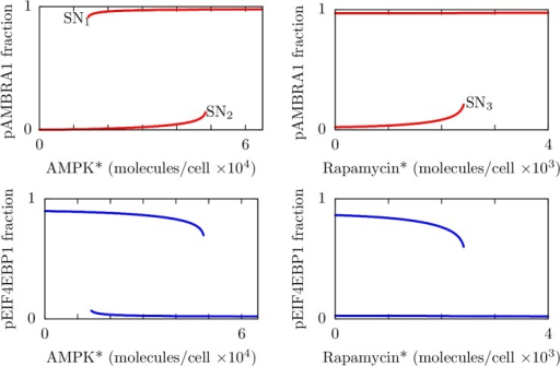 Results from bifurcation analysis of the system without negative feedback from ULK1 to AMPK.Each panel is a one-dimensional bifurcation diagram showing stable steady-state levels of phosphorylated AMBRA1 (red curves, top panels) or phosphorylated EIF4EBP1 (blue curves, bottom panels) as a function of the level of AMPK* (left panels) or the level of rapamycin* (right panels). Thus, we took the inputs of the model as our bifurcation parameters. For the left panels, the abundance of rapamycin* is fixed at zero. For the right panels, the abundance of AMPK* is fixed at 30,000 copies per cell. For all panels, the parameters considered in Table 1 are held fixed at their nominal values. The labels SN1, SN2, and SN3 indicate saddle node bifurcation points. Bifurcation analysis was performed numerically (see Materials and Methods).