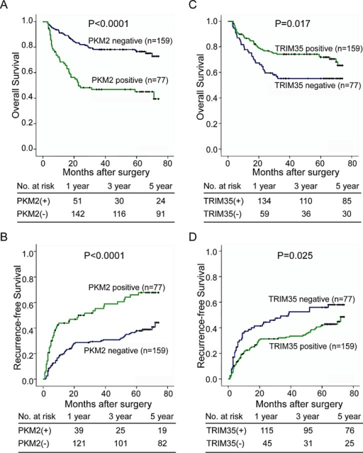 Positive expression of PKM2 and negative expression of TRIM35 significantly correlates with poor prognosis in HCC patients(A, B) Kaplan-Meier analysis of the correlation between PKM2 expression and the recurrence-free or overall survival of 236 patients with HCC. Log-rank tests were used to determine statistical significance. (C, D) Kaplan-Meier analysis of the correlation between TRIM35 expression and the recurrence-free or overall survival. Log-rank tests were used to determine statistical significance.