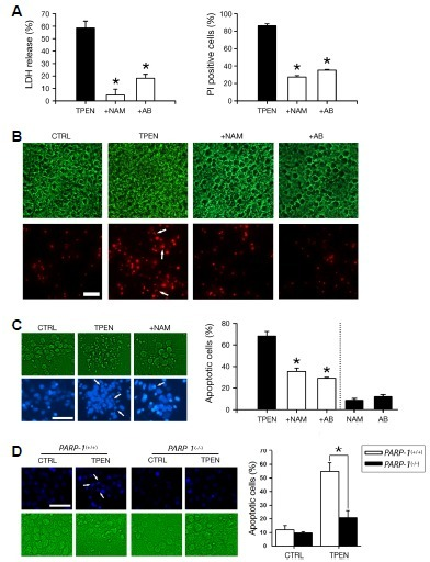 Requirement for PARP-1 in TPEN-induced neuronal apoptosis. (A) LDH release or PI-positive cells (mean ± SEM, n = 4 cultures) in mouse cortical neuron cultures after 24-h exposure to TPEN (2 μM) with or without PARP inhibitors nicotinamide (NAM; 10 mM) or 3-aminobenzamide (AB; 10 mM). *p < 0.05 vs. TPEN alone, ANOVA. (B) Phase-contrast (upper) or PI-stained (lower) photomicrographs of identical fields of cultured cortical neurons exposed to sham wash (CTRL) or TPEN with or without NAM or AB for 24 h. Arrows indicate typical apoptotic nuclei. Scale bar = 100 μm. (C) Photomicrographs (left) and quantitative analysis (right; n = 4 cultures) of Hoechst 33342-positive apoptotic cells in mouse cortical neuron cultures after 24-h exposure to sham wash (CTRL) or TPEN with or without NAM or AB. Arrows indicate typical morphology of apoptotic condensed nuclei. *p < 0.05 vs. TPEN alone, ANOVA. (D) Photomicrographs (left) and quantitative analysis (right; n = 4 cultures) of Hoechst 33342-positive apoptotic cells in PARP-1+/+ or PARP-1−/− mouse cortical neuron cultures after 24-h exposure to sham wash (CTRL) or TPEN. Arrows indicate typical morphology of apoptotic condensed nuclei. In PARP−/− neuronal cultures, zinc-depleted neuronal apoptosis was markedly attenuated.