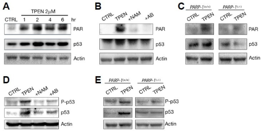 Post-translational modification of p53 by PARP-1 in TPEN-induced neuronal apoptosis. (A) Immunoprecipitation (IP) and immunoblotting over the time course of p53 PARylation. Protein samples were prepared from nearly pure cortical neuron cultures at the indicated time points after TPEN treatment. Protein extracts were immunoprecipitated with p53 antibody and analyzed by SDS-PAGE and immunoblotting with poly(ADP-ribose) (PAR) antibody. PARylation bands of p53 were detected from 1 hr after TPEN treatment. To show that the same amount of protein extract was used in IP, 30 μl of protein (1 μg/μl) was prepared before IP incubation and analyzed using actin antibody. (B) IP and immunoblotting for p53 PARylation. Protein samples were prepared after 4-h exposure to TPEN with or without NAM or AB. PARylation of p53 was almost completely blocked by PARP inhibitors. (C) PARylation of p53 in PARP-1+/+ or PARP-1−/− mouse cortical neuron cultures. Protein samples were prepared after 4-h exposure to sham wash (CTRL) or TPEN and then immunoprecipitated with p53 antibody. PARylation and accumulation of p53 by TPEN were not induced in PARP-1−/− mouse cortical neuron cultures. (D) Western blot analysis of p53 phosphorylation (upper) and accumulation (lower). Protein samples were prepared after 6-h exposure to TPEN with or without NAM or AB. PARP inhibitors markedly attenuated the TPEN-induced increase in p53 activity and stability. (E) Western blot analysis of p53 phosphorylation (upper) and accumulation (lower) in PARP-1+/+ or PARP-1−/− mouse cortical neuron cultures. Protein samples were prepared after 6-h exposure to sham wash (CTRL) or TPEN. The increase of p53 activity and stability by TPEN was not detected in PARP-1 deficient neuronal cultures.
