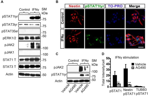 IFNγ increases tyrosine STAT1 phosphorylation in Nestin+ SVZ progenitors. (A) Phosphorylation of STAT1 at Tyr701 and JAK2 were induced 15 min after IFNγ (50 ng/mL) addition in primary SVZ cultures. Stimulation of pSTAT3Tyr701, pSTAT3Ser727, and JAK1 were not observed (n = 6 per time point). Total STAT1 and STAT3 were unchanged and actin was the loading control. (B) Double-immunofluorescences staining showed that STAT1Tyr701 immunoreactivity was absent in the control culture. After IFNγ stimulation STAT1Tyr701 (green) was increased exclusively in Nestin+ progenitors (red; n = 4), TO-PRO (blue) labeled all nuclei. (C) The presence of the AG490 STAT1 inhibitor reduced STAT1 phosphorylation (n = 4 per time point). Actin was the loading control. (D) Histogram represents immunoreactivity signal intensity of STAT1Tyr701 per Nestin+ cell after IFNγ stimulation in the presence or absence of AG490 inhibitor. After IFNγ stimulation, phosphorylation of STAT1STyr701 was increased in Nestin+ progenitors and the presence of the JAK2 phosphorylation inhibitor AG490 impeded STAT1 phosphorylation (n = 4). Scale bar: (B) 30 μm. Data are represented as mean ± SEM. **p ≤ 0.01.