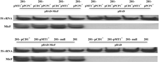 Detection of MicF expression in various strains of Y. pestis. MicF expression detected by Northern Blot, in which 5S rRNA images from each tested strain were provided as control.