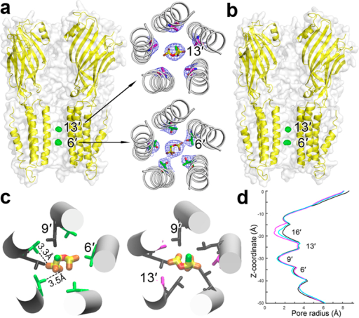 Crystal structures of ELIC with isoflurane bound within the pore.Side views of ELIC bound with two isoflurane molecules near residues T237(6′) and A244(13′) in (a) the resting and (b) desensitized states. The FΟ-FC omitted electron density maps (green) are contoured at 5.0 σ level with a carve distance of 1.8 Å for isoflurane molecules. Two inserted top views in (a) show 2FΟ-FC electron density maps contoured at 1.0 σ level for isoflurane bound to the 13′ and 6′ positions of ELIC in the resting conformation. (c) ELIC residues within 4 Å in contact with isoflurane: T237(6′), green; L240(9′), black; and A244(13′), magenta. Dashlines highlight potential hydrogen bonding between isoflurane and T237(6′). (d) Isoflurane binding induced an inward movement of the upper portion of TM2 and reduced pore radius near 16′. The pore profile of apo ELIC (black), ELIC-isoflurane (magenta), ELIC-isoflurane-agonist 3-bromopropylamine (cyan) were calculated using the HOLE program70 based on their crystal structures (PDB codes: 3RQU, 4Z90, 4Z91). The z-coordinate is parallel to the channel axis and the zero point of the pore radius is overlapped with the channel axis.