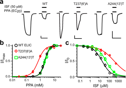 Functional evidence of isoflurane binding to the pore.(a) Representative current traces for isoflurane inhibition of WT and two mutants: T237(6′)A; and A244(13′)T. The scale bars are 0.1 μA (vertical) and 30s (horizontal). (b) Agonist propylamine (PPA) concentration-response curves for WT and two mutants indicated in (a). The data were normalized to the maximum current and fit to the Hill equation (solid lines, n ≥ 5). (c) Isoflurane inhibition of WT and the two mutants indicated in (a). The data were normalized to the current at EC20 in the absence of isoflurane and fit to the Hill equation (solid lines, n ≥ 6). The data are reported as the mean ± SEM and error bars less than the symbol size are not visible.