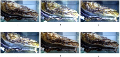 Responses of oysters to turning the flashlight on and off.1, oyster filtering seawater with a slightly-opened shell prior to switch-on; 2, oyster immediately after switch-on; 3, oyster beginning to open its shells during switch-on; 4, oyster with a wider shell opening during switch-on; 5, oyster beginning to close its shell following switch-off; 6, reduction in size of shell opening following the disappearance of flashlights for several seconds. The 'switch-on' indicates the time when the flashlight is switched on; 'switch-off' indicates the time when the flashlight is switched off.