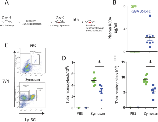 R89A 35 K-Fc expression following hydrodynamic delivery causes significant suppression of zymosan induced peritonitis.Mice were injected with 1 μg 35 K-Fc R89A 35 K-Fc plasmid or GFP control plasmid 5 days prior to injection of 100 μg zymosan ip (A). 16 hours after the injection of zymosan recruited cells were recovered by peritoneal lavage and plasma samples harvested for ELISA. Animals receiving R89A 35 K-Fc plasmid expressed 35 K-Fc in the plasma, whereas the protein was not detected in the GFP control animals (B). Leukocytes reovered from the peritoneal cavity were stained with 7/4 and Ly-6G antibodies to detect recruited monocytes and neutrophils (C). Injection of zymosan caused recruitment of both monocytes and neutrophils, but the number of cells recruited was significantly reduced in animals that received R89A 35 K-Fc (D,E). *p < 0.05. Statistical test performed by T-test.
