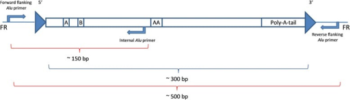 The amplification via an internal Alu primer results in amplicons of ~150 bp. The reverse flanking Alu primer is replaced by an internal Alu subfamily specific primer. The internal primer is located at the 3′ sequence of the left Alu monomer prior to the A-rich region in the middle of the element. The amplification via flanking Alu primers results in amplicons of ~500 bp. The large arrows at the 5′ and 3' ends indicate the target site duplications