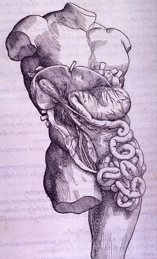 <p>The stomach, liver, intestine, gall bladder, and mesentery.</p>