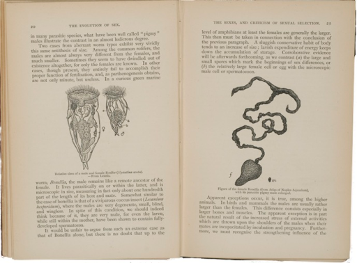 <p>Image consists of text and illustrated facing pages with left page showing size difference between male and female rotifer.  Right page shows large female Bonellia adjacent pigmy male.</p>