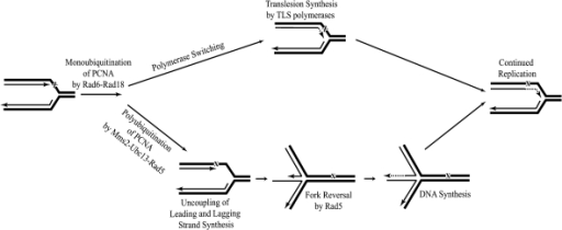 Model for the Role of Rad5 in Lesion Bypass by Template