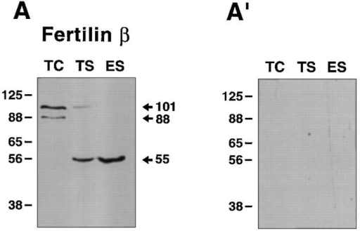 Expression of fertilin β and cyritestin during sperm  maturation. Cells at different developmental stages were run on  reducing SDS-PAGE and blotted with affinity-purified anti-peptide antibodies (10 μg/ml). About 106 cells were loaded per lane.  A, fertilin β; B, cyritestin. Antibodies for the blots were fertilin β,  mβ-CT1; cyritestin, mCyri-CT1 (TC, TS, ES), and mCyri-CT2  (ES′). The panels on the left (A and B) show the test immunoblots. The panels on the right (A′ and B′) show control blots  done in the same way as the tests, except 50 μg/ml of peptide was  added during the incubation with anti-peptide antibody. TC, testicular cell; TS, testicular sperm; ES, epididymal sperm.