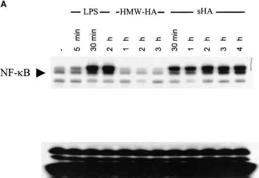 The sHA-induced DC maturation is NF-κB dependent. (A) Nuclear extracts were prepared from DCs treated with either HMW-HA (30 μg/ml), sHA (30 μg/ml), LPS (10 ng/ml), or left untreated. A total of 10 μg of protein from each nuclear extract was analyzed for NF-κB activity by EMSA. The arrow indicates specific NF-κB bands. (B) Supernatants of DCs stimulated with 30 μg/ml sHA (white bars) or 10 ng/ml LPS (black bars) in the presence of the indicated concentrations of the NF-κB inhibitor CAPE were harvested after 7 h and screened for their TNF-α content by ELISA. Data represent the mean TNF-α release of triplicate wells; pg/mg total protein ± SD.