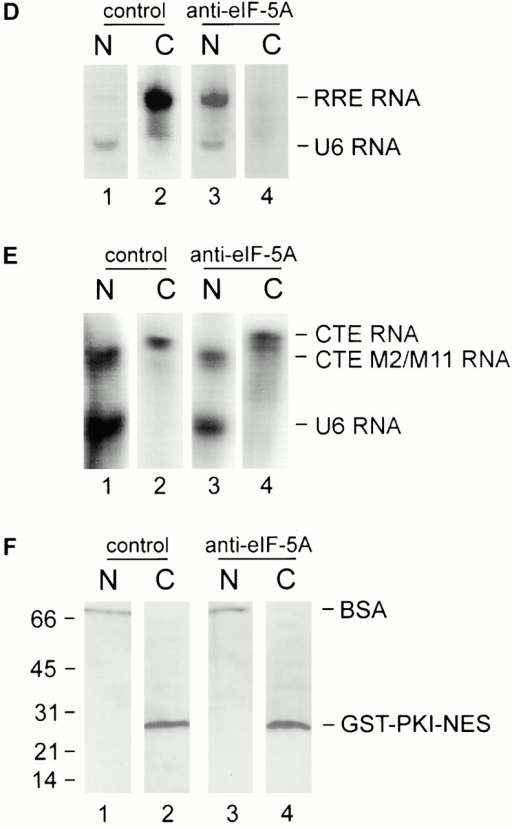 eIF-5A is required for nuclear export of GST–Rev–NES and Rev-mediated RNA export, but not for CTE RNA and GST–PKI–NES export in Xenopus oocytes. (A) To analyze interaction of the Rev–NES with eIF-5A in solution, glutathione–Sepharose beads coupled to GST–Rev (lanes 1 and 1′) or, as a control, GST (lanes 2 and 2′) were incubated with the extract of 150 Xenopus oocytes, pelleted, and then processed for immunoblotting with antibodies to eIF-5A. Bound proteins are shown in lanes 1 and 2, and the unbound material are shown in lanes 1′ and 2′. eIF-5A binds specifically to GST–Rev–NES (compare lanes 1 and 1′). Molecular mass standards are indicated in kD. (B) Oocyte injection protocol. After injection and incubation, oocytes were manually dissected in nuclear (N) and cytoplasmic (C) fractions. (C) Proteins were separated by 18% SDS-PAGE, and blots were probed with antibodies against GST and BSA. In the presence of control IgG, within 2 h, most GST–Rev–NES migrates from the nucleus to the cytoplasm (lanes 1 and 2). In contrast, in the presence of antibodies to eIF-5A, the nuclear export of GST–Rev–NES is largely inhibited (lanes 3 and 4). Coinjection of wt eIF-5A protein overcomes the blocking effect of anti–eIF-5A antibodies on GST–Rev–NES export (lanes 5 and 6). To monitor the site of injection, the export substrate was injected along with BSA, which is not exported. The exclusive presence of BSA in the nuclei confirms the specificity of the nuclear injections (lanes 1, 3, and 5). Molecular mass standards are indicated in kD. (D and E) RNA was analyzed by 8 M 6% acrylamide urea gel electrophoresis followed by autoradiography. (D) In the presence of Rev, the RRE RNA is exported (lane 2). In contrast, antibodies against eIF-5A inhibit this export (lane 4). (E) Antibodies against eIF-5A do not prevent the nuclear export of CTE RNA (lanes 2 and 4), indicating that eIF-5A is not involved in the CTE RNA export pathway. Nuclear injected CTE M2/M11 RNA mutant remains in the nuclei (lanes 1 and 3). The nuclear localization of U6-RNA confirms the accuracy of nuclear injections. (F) Nuclear export of the injected GST–PKI–NES fusion protein was analyzed as shown in B. The export of GST–PKI–NES was unaffected by the presence of anti–eIF-5A antibodies (lanes 2 and 4), confirming that eIF-5A is not involved in PKI-NES–mediated nuclear export.