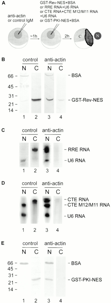 Antibodies against actin inhibit nuclear export of GST–Rev–NES, GST–PKI–NES, RRE RNA, and CTE RNA in Xenopus oocytes. (A) Oocyte injection protocol. Nuclear (N) and cytoplasmic (C) fractions were manually isolated. (B and E) Proteins were separated by 18% SDS-PAGE and analyzed by immunoblotting with antibodies to GST and BSA. The exclusive presence of the nonexportable protein BSA in the nuclear fractions confirms the accuracy of the injections. (B) The nuclear export of GST–Rev–NES is strongly inhibited by antibodies against actin (lane 4) but not by control IgM (lane 2). (E) Antiactin antibodies also block the nuclear export of GST–PKI–NES (lane 4), whereas, in contrast, it is exported in the presence of control IgM (lane 2). Molecular mass standards are indicated in kD. (C and D) RNA separated by 8 M 6% acrylamide urea gels and visualized by autoradiography. (C) In the presence of antiactin antibodies, the Rev-mediated export of RRE RNA is inhibited (compare lanes 2 and 4). (D) Antiactin antibodies also inhibit the export of CTE RNA (compare lanes 2 and 4). As expected, the mutant CTE M2/M11 is not exported (lanes 1 and 3). The nuclear localization of the nonexportable U6 RNA confirms the accuracy of the nuclear injections.