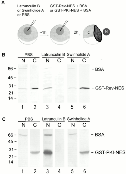Different effects of actin-binding drugs on nuclear export of GST–Rev–NES and GST–PKI–NES. (A) Oocyte injection protocol. 1 h after nuclear injection of latrunculin B, swinholide A or PBS (control) and the export substrate GST–Rev–NES or GST–PKI–NES, together with BSA, were microinjected into oocyte nuclei. 2 h later, oocytes were manually dissected into nuclear (N) and cytoplasmic (C) fractions. (B and C) Proteins were separated by 18% SDS-PAGE, and blots were analyzed with antibodies to GST and BSA. A substantial fraction of the injected export substrate migrates into the cytoplasm in the presence of PBS (lane 2) or swinholide A (lane 6). In contrast, the export substrate remains exclusively in the nuclei in presence of latrunculin B (lane 3). Detection of BSA in the nuclei confirms the specificity of the nuclear injections.