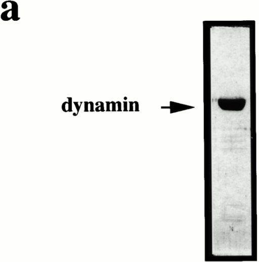 Dynamin can rescue the inhibitory effects of GST–amph2 SH3D36R in the avidin inaccessibility but not the MesNa resistance assay. (a) Dynamin, purified from rat brain was electrophoresed on a 10% SDS-PAGE gel and visualized by Coomassie staining. Permeabilized cell membranes were preincubated in the presence or absence of GST–amph2 SH3D36R (0.1 mg/ml) for 5 min. They were then collected by centrifugation and assayed in the presence of ATP, cytosol (2.5 mg/ml), and dynamin (5 μg) as indicated for the ability to support avidin inaccessibility (b) or MesNa resistance (c) of B-SS-Tfn. Results are expresssed as the mean ± SEM of three experiments each performed in duplicate. Permeabilized cell membranes were preincubated in the presence or absence of GST–amph2 SH3D36R (0.1 mg/ml) for 5 min. They were then collected by centrifugation and assayed in the presence of ATP, cytosol (2.5 mg/ml), and synaptojanin (5 μg) as indicated for the ability to support avidin inaccessibility (d) or MesNa resistance (e) of B-SS-Tfn. Results are expresssed as the mean ± SD of two experiments each performed in duplicate. (f) Permeabilized membranes which had been preincubated in the presence of GST–amph2 SH3D36R and then subsequently incubated for 30 min in the presence of ATP and cytosol (lanes 1–3), plus dynamin (5 μg; lane 2), plus synaptojanin (5 μg; lane 3) were solubilized and electrophoresed on a 10% SDS gel, transferred to nitrocellulose, and probed for the presence of GST–amph2 SH3D36R using anti-GST antibodies.