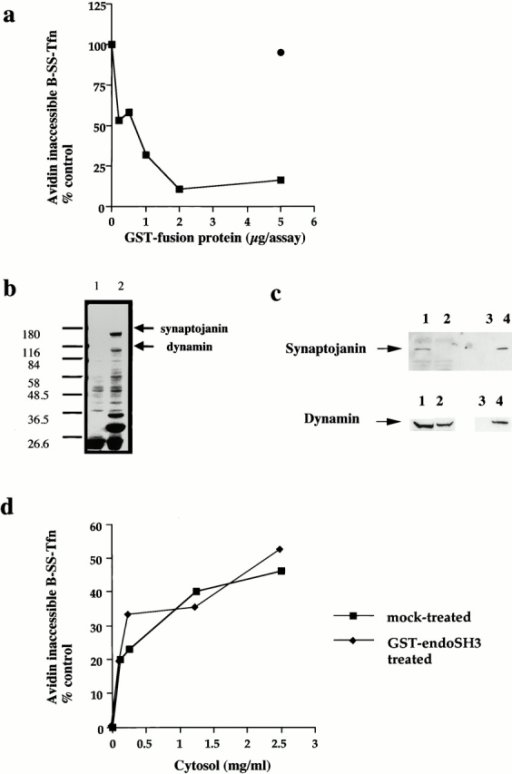The SH3 domain of endophilin inhibits ligand sequestration and internalization in permeabilized A431 cells. (a) The sequestration of B-SS-Tfn into deeply invaginated coated pits and its internalization into coated vesicles were measured using the avidin internalization assay in the presence of the indicated concentrations of GST fusion proteins containing GST alone (filled circles) or GST–endoSH3 (filled squares). Results are from a typical experiment where each assay point is the mean of duplicates which differed by <10%. (b) Bovine brain cytosol (500 μl of 10 mg/ml) was treated with glutathione-agarose alone or coupled to the GST–endoSH3 fusion proteins for 2 h at 4°C. The beads were pelleted and washed three times in PBS before being electrophoresed on a 10% SDS-PAGE and Coomassie stained. Lane 1, GSH beads alone; lane 2, GST–endoSH3 beads. (c) Western blot of cytosol after treatment with GST–endoSH3. Cytosol was treated as described in b and equivalent volumes of supernatant (lanes 1 and 2) or beads (lanes 3 and 4) were probed on Western blots using either antidynamin or antisynaptojanin antibodies. (c) The avidin inaccessibility assay was carried out in the presence of increasing concentrations of bovine brain cytosol which had been treated with GSH beads alone (filled squares) or with GSH beads coupled to GST–endoSH3 (filled diamonds). (e and f) Permeabilized cells were preincubated with GST (filled circles) or GST–endoSH3 (filled squares) at the indicated concentrations for 5 min at 30°C. The membranes were then pelleted by centrifugation and assayed either for avidin inaccessibility (e) or MesNa resistance (f) of B-SS-Tfn in the presence of cytosol (2.5 mg/ml) and ATP.