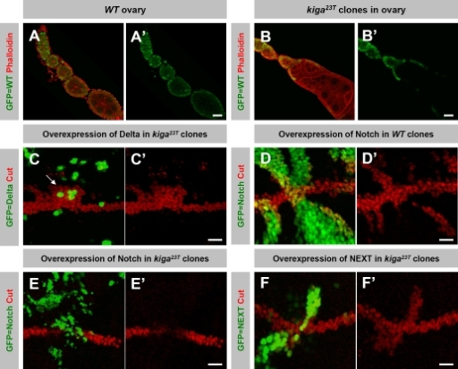 kiga is required in signal-receiving cells for Notch signaling. (A–B') Wild-type (WT) ovary (A and A') and ovary with kiga mutant clones (B and B') were stained with phalloidin (red) to outline the cell boundary. (B and B') A large kiga mutant clone marked by loss of GFP expression (green) results in a fused egg chamber phenotype. (C–F') Notch signaling activity reported by Cut expression at the DV boundary using the MARCM technique. Part of the wing discs stained for Cut (red) is shown, and the mutant region is marked positively with GFP expression (green). (C and C') Overexpression of Dl in kiga mutant cells can induce Cut expression in the adjacent cells near the DV boundary at the dorsal compartment. (D and D') Overexpression of Notch in wild-type cells can induce Cut expression cell autonomously near the DV boundary. (E and E') Overexpression of Notch in kiga mutant cells fails to induce Cut expression near the DV boundary. Note that when the clones are crossing the boundary, Cut expression is lost in the mutant cells. (F and F') Overexpression of NEXT in kiga mutant cells can induce Cut expression cell autonomously. Bars: (A–B') 20 μm; (C–F') 10 μm.