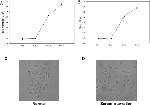 ARPE-19 cell proliferation patterns and scattering during serum-starvation. Serum-starved ARPE-19 cells were counted using a hemocytometer (A). MTS assay was performed at 490 nm on a micro-enzyme-linked immunosorbent assay (ELISA) plate reader (B). ARPE-19 cells showed scattering pattern and spindle shape after serum starvation for 24 hours (C) and (D).