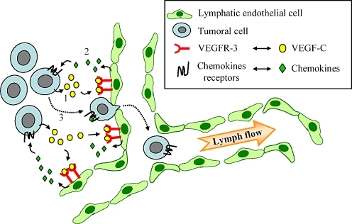 Mechanisms of VEGF-C-induced intravasation of cancer cells across lymph vessels. In several human cancers, increased expression of VEGF-C in primary tumours correlates with regional lymph node metastases. It is possible that a reciprocal cross-talk exists between tumour cells and lymphatic endothelial cells to induce tumour lymphangiogenesis and formation of lymph node metastases. Notably, VEGF-C activates lymphatic endothelial cells (1) that in turn may secrete chemotactic factors (2). This will contribute to attract cancer cells bearing appropriate chemokine receptors to the growing lymph vessels (3), and enable their adhesion and their intra-lymphatic intravasation