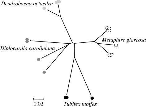 Phylogenetic analysis of species diversity within a range of Annelida. Representative COI sequences were selected from GenBank to illustrate maximal diversity with four annelid species: T. tubifex (EF179544.1, EF179543.1 and AF534866.1); Metaphire glareosa (AY960803.1, AY962167.1, AY962168.1, AY962169.1, AY962178.1 and AY962179.1); Dendrobaena octaedra (EU035478.1, EU035481.1, EU035484.1, EU035487.1, EU035488.1, EU035492.1 and DQ092895.1); and Diplocardia caroliniana (EF156651.1, EF156658.1, EF156659.1 and EF156661.1). The tree was constructed using the distance-based neighbour-joining algorithm, based upon p distance.