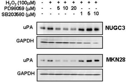 Effects of PD 98059 or SB 203580 on HGF-mediated up-regulation of uPA. Serum-starved cells were pretreated with or without H2O2 (100 μM) for 30 min and then treated with PD 98059 (5, 10 and 20 μM) or SB 203580 (1, 5 and 10 μM). After incubation for 24 h, uPA in culture media was measured by Western blot analysis. Representative data from 3 independent experiments were shown.