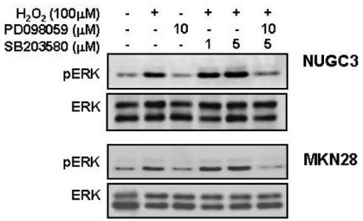 Effects of PD 98059 and/or SB 203580 on H2O2-induced ERK phosphorylation. Serum-starved cells were pretreated with PD 98059 (10 μM) and/or SB 203580 (1 and 5 μM) for 30 min and then treated with HGF (10 ng/ml) for 15 min. ERK activation was evaluated by Western blot analysis. Representative data from 3 independent experiments are shown.