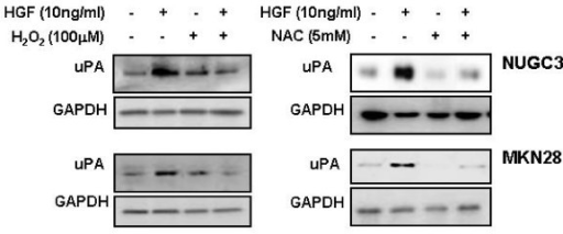 Effects of H2O2 and NAC on HGF-mediated upregulation of uPA. Serum-starved cells were pretreated with or without H2O2 (100 μM) and NAC (5 mM) for 30 min, and then treated with or without HGF (10 ng/ml). After incubation for 24 h, uPA secreted in culture media was measured by Western blot analysis with a uPA antibody. Representative data from 3 independent experiments were shown.