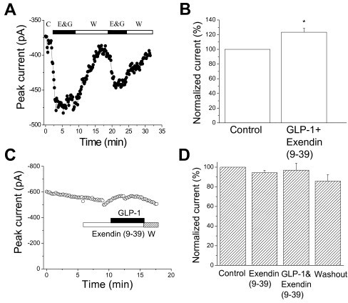 Effects of the GLP-1R inhibitor Exendin (9-39) on the GLP-1-induced enhancement of L-type Ca2+ currents in isolated canine left ventricular myocytes. A, The time course of the extracellular perfusion of Exendin (9-39, 100 nM) plus GLP-1 (5 nM) is shown. The GLP-1-induced enhancement of Ca2+ currents was not blocked by Exendin (9-39), even after washout and reperfusion of these two compounds. The currents were evoked by the depolarizing pulses from a holding potential of -40 mV to 0 mV every 10 s. C, control; E&G, Exendin (9-39) + GLP-1; W, washout. B, Compared to control, the average increase in peak ICa was statistically significant in the presence of Exendin (9-39) plus GLP-1 (n = 6, p < 0.05). Panel C shows the time course of ICa for control, the extracellular perfusion of 100 nM Exendin (9-39) alone (Exendin (9-39)) and Exendin (9-39) plus 5 nM GLP-1 (GLP-1), and washout (W). The currents were evoked by the pulses depolarizing from holding potential of -40 mV to 0 mV every 10 s. D, The averaged data show that 100 nM Exendin (9-39) applied 5 min ahead of GLP-1 (5 nM) perfusion abolished the GLP-1-induced enhancement of ICa (n = 5, p > 0.05).