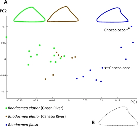 Morphometric analyses of Rhodacmea populations.3A. Scatter plot showing shell shape principal component analyses of individual limpets from three groups: 1) Green River Rhodacmea elatior (n = 12); 2) Cahaba River R. elatior (n = 7); 3) a combined sample of apically-intact R. filosa from an extant Choccolocco Creek population (n = 2, arrowed) and museum specimens from an extirpated Tallaseehatchee Creek population (n = 8). The mean shapes of each group are shown at the top of the plot. 3B. A composite outline showing PCA deformation vectors on individual landmarks for PC1 representing changes between a consensus shape for all limpets analysed (PC1 = 0) and that of a hypothetical limpet positioned mid-range (PC1 = 0.1) for Rhodacmea filosa.